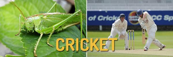 semantic search cricket